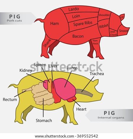 Wild Boar Organs Diagram - Block And Schematic Diagrams •