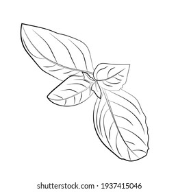 Basil hand drawing icon isolated on white background. Vector