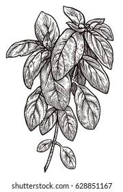 Basil illustration, drawing, engraving, ink, line art, vector