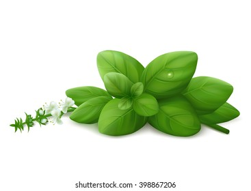 Basil leaves with flowers and droplet. Isolated on white background. Realistic vector illustration.