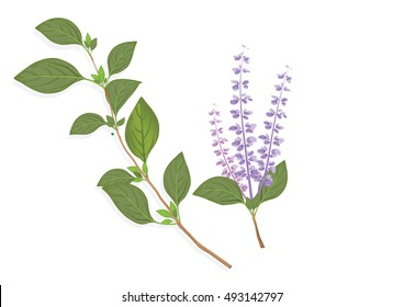 Basil leaves  and flowers on the branch. herbs for cooking hand drawing illustration . ingredient plant for food. isolated pictures for object or background