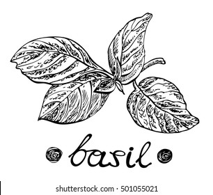 Basil leaves. Vector illustration for design menus, recipes and packages products.