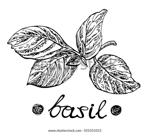 Basil Leaves Vector Illustration Design Menus Stock Vector