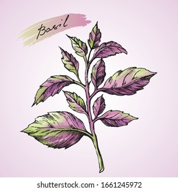 Basil purple, green  leaves on white background