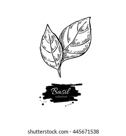Basil vector drawing. Isolated Basil leaves. Herbal engraved style illustration. Cooking spicy ingredient