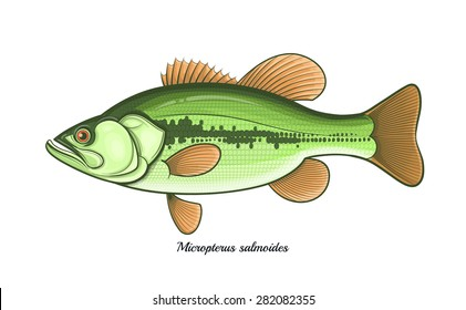 Bass fish outline color vector illustration