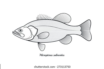 Largemouth Black Bass Stock Images Royalty Free Images Vectors