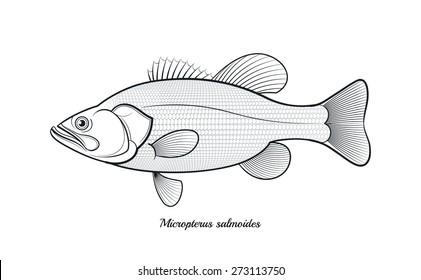 Bass fish outline vector illustration