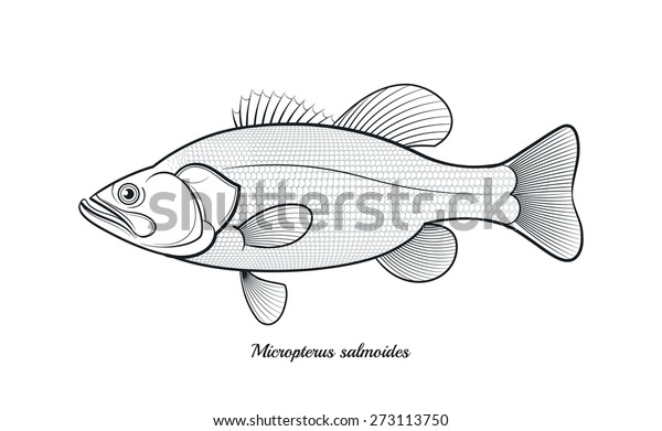 Bass Fish Outline Vector Illustration Stock Vector Royalty Free