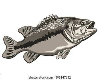 Bass fish. Perch fishing vector illustration. Bass fishing vector illustration can be used for original design.