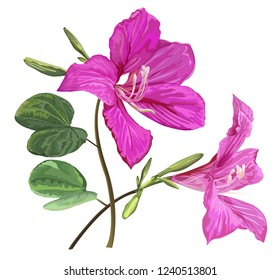 Bauhinia flowers vector illustration
