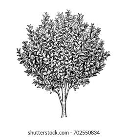 Bay laurel tree. Ink sketch isolated on white background. Hand drawn vector illustration. Retro style.
