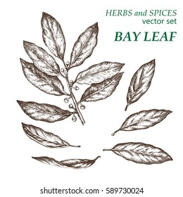 Bay leaf.  Botanical Illustration. Herbs and Spices.  The drawing hands.