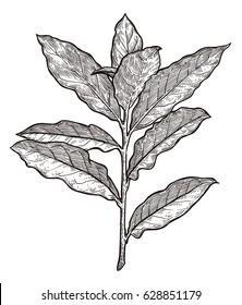 Bay leaves illustration, drawing, engraving, ink, line art, vector