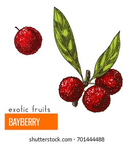 Bayberry. Full color realistic hand drawn vector illustration.