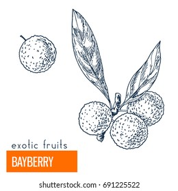 Bayberry. Hand drawn vector illustration, vintage engraving style.