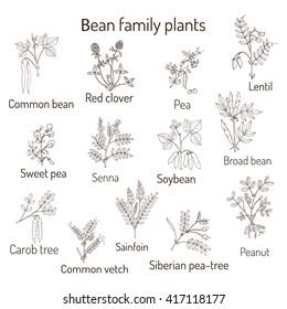 Bean family plants. (Fabaceae, Leguminosae or Papilionaceae).  Hand drawn botanical vector illustration. Pea, peanut, soya, broad bean
