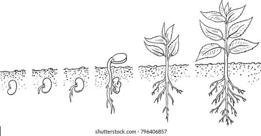 germination images  stock photos  u0026 vectors