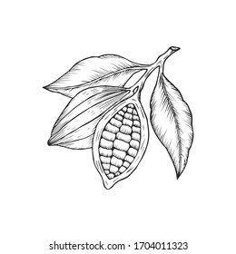 Сocoa beans logo isolated of white background. Hand drawn style. Vector illustration.