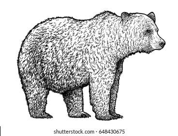 Bear illustration, drawing, engraving, ink, line art, vector