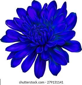 Beautiful blue chrysanthemum flower isolated on white background. Vector illustration