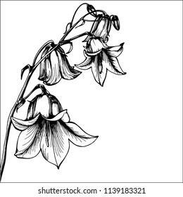 Beautiful bluebell flowers on white background. Campanula .Botanical illustration free hand drawing. Bird vector illustration.
