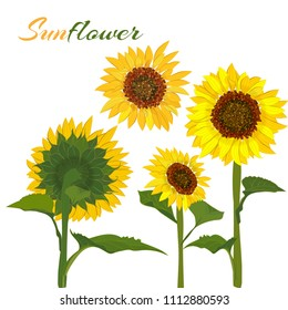 Beautiful botanical art illustration with set sunflower isolated on white background for print decorative design, wedding invitation card. Colorful summer sketch, watercolor style. Vector