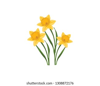 Beautiful Bouquet of three vector daffodils isolated on white background. Bouquet of yellow narcissus on the white background. Spring flower