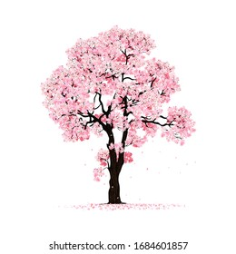 beautiful cherry blossom tree  isolated on white backdrop.