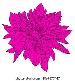 Beautiful color sketch, dahlia flower on a white background