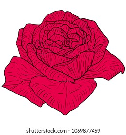Beautiful color sketch, rose flower on a white background