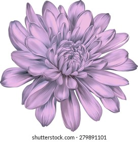 Beautiful colorful chrysanthemum flower isolated on white background. Vector illustration