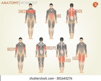 beautiful design of human anatomy for working out at the gym consist of chest,ABS,back,biceps,triceps and legs,body building concept