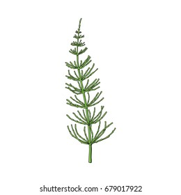 Beautiful equisetum, horsetail twig, branch, decoration element, sketch vector illustration isolated on white background. Realistic hand drawing of beautiful horsetail twig, floral decoration element
