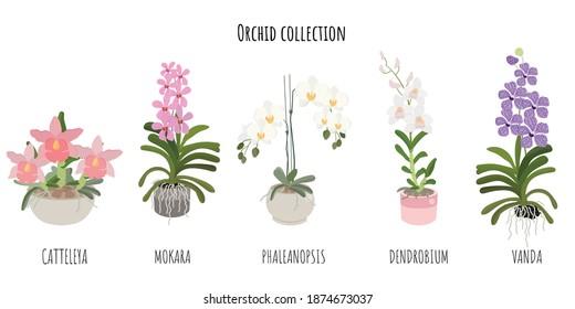 beautiful flat style orchid flower collection on white background isolated Catteleya, Mokara, Phalaenopsis, Dendrobium and Vanda