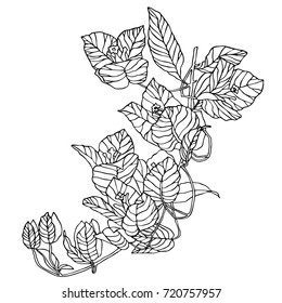 Beautiful flowers bougainvillea drawn in hand, translated into a vector. Can be used for printing on paper, fabric. Suitable for festive invitations, fashion industry, stickers and other.