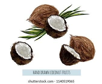 Beautiful hand drawn botanical vector illustration background with  coconut fruit in watercolor style. Isolated on white background.
