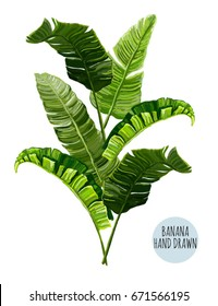 Beautiful hand drawn botanical vector illustration with banana leaves. Isolated on white background.