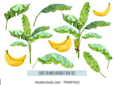 Beautiful hand drawn botanical vector illustration with banana palm tree, fruit, leaves. Isolated on white background.
