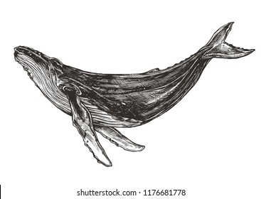 Beautiful hand drawn humpback whale. Sketch vector illustration