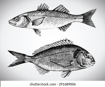 beautiful hand drawn illustration with different fishes, gilt head and sea bass.
