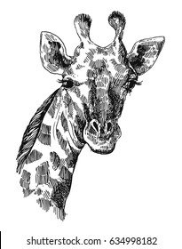 Beautiful hand drawn illustration portrait of giraffe. Sketch style.