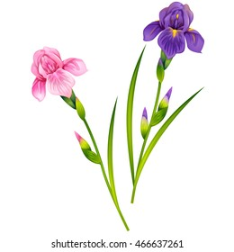 Beautiful Iris Flowers. Isolated vector illustration.