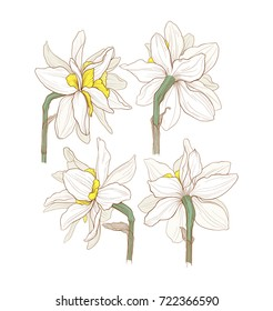 beautiful isolated narcissus flowers on white background