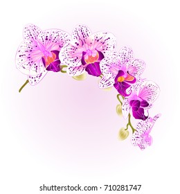 Beautiful isolated Orchid Phalaenopsis purple and white stem with flowers and  buds   vintage  vector closeup editable illustration hand draw