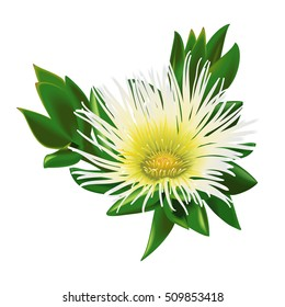 Beautiful Isolated South African Flower Sceletium Tortuosum Kanna Plant Vector