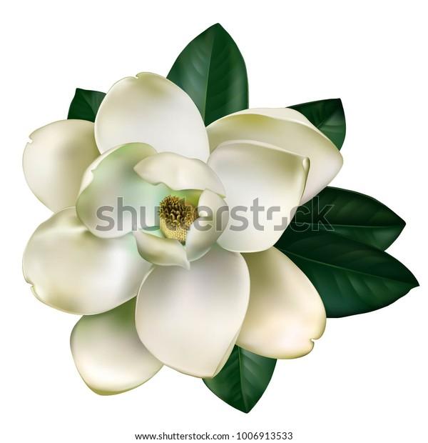 Красивый светлый цветок магнолии с листьями, изолированными на белом фоне. Вектор.