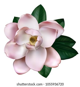 Beautiful light pink magnolia flower isolated on a white background. Vector.