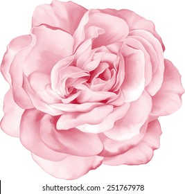 Beautiful light pink red Rose Flower isolated on white background. Vector illustration
