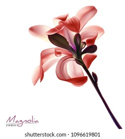 Beautiful light red magnolia flower isolated on a white background. Vector.